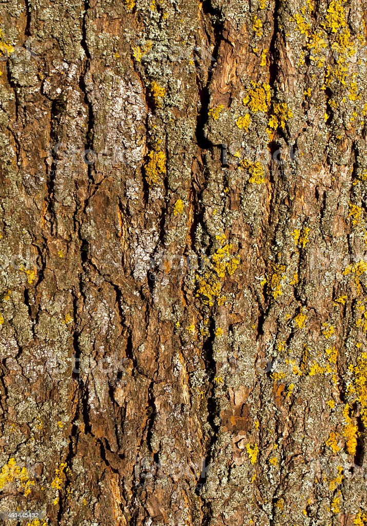 Old maple tree bark texture with moss. stock photo