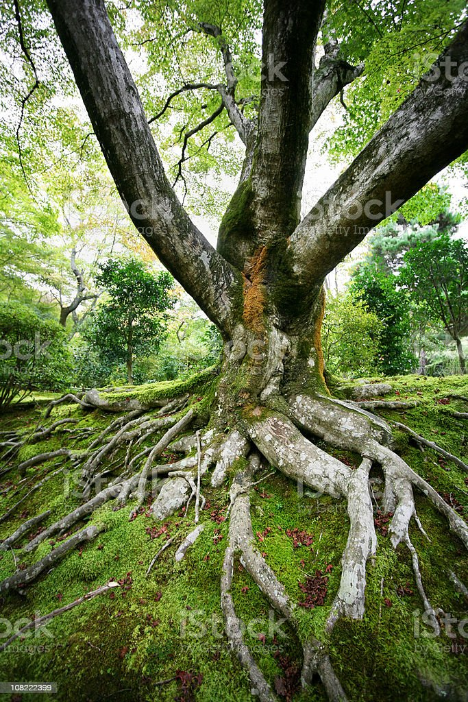 old maple tree stock photo