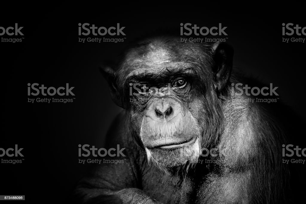 Old Monkey Portrait Black&White stock photo