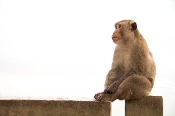 old monkey sitting on cement concrete feeling something is waiting. - macaco foto e immagini stock