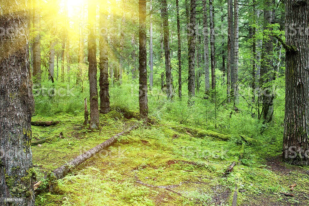 Old natural forest royalty-free stock photo