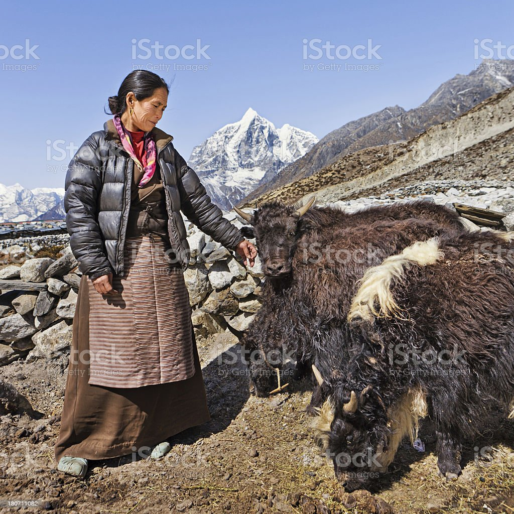 Old Nepali woman hearding yaks royalty-free stock photo