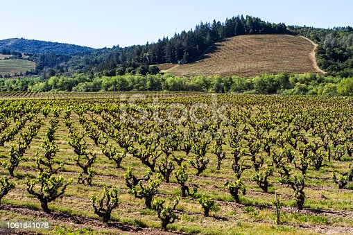 An old vine vineyard begins a new growing season, while a newly planted vineyard just gets started in the background. Sonoma County, California, USA