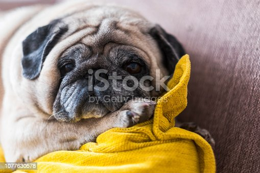 Old nice funny pug looking to you from the couch - lazy lifestyle for affective lovely puppy at home - domestic dog with love feeling