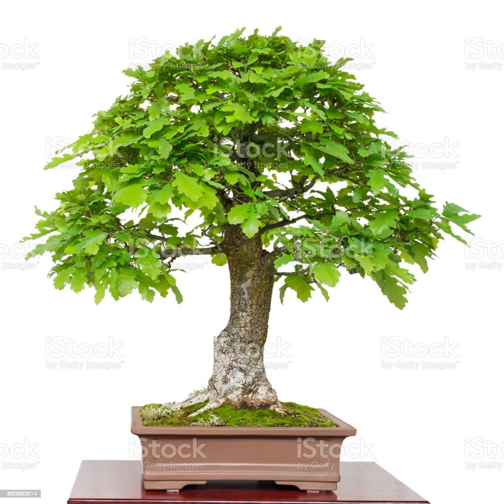 Old Oak As Green Bonsai Tree Stock Photo Download Image Now Istock