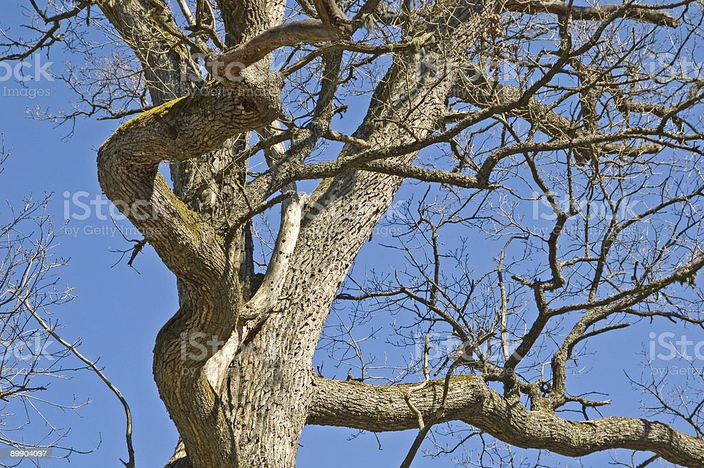 Old oak branches against blue sky royalty-free stock photo