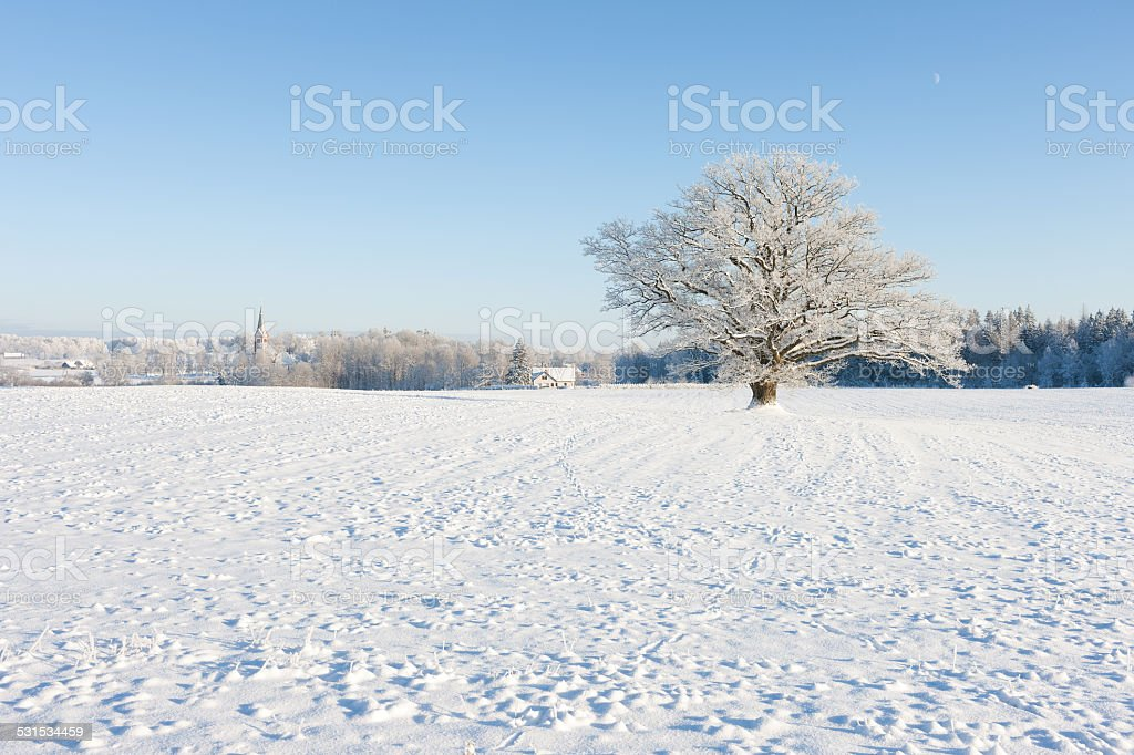 Old oak in hoarfrost against the blue sky and church stock photo