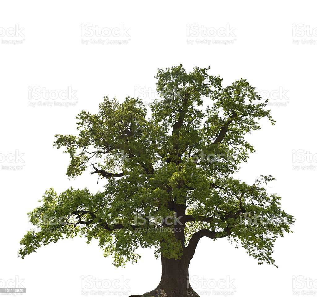 old oak in summer - isolated on white stock photo