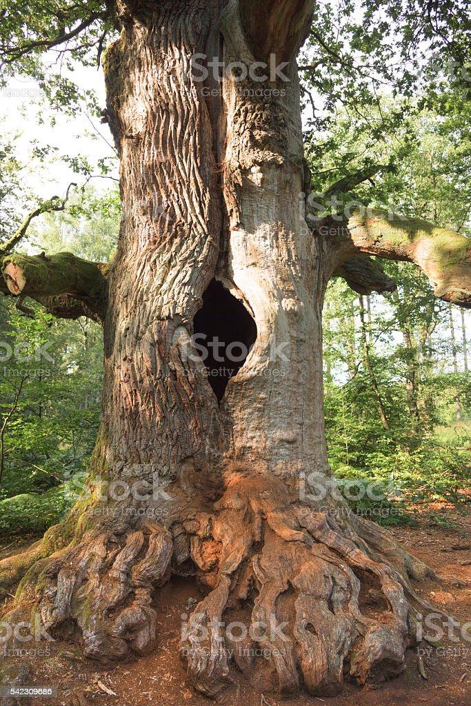 Old oak stock photo