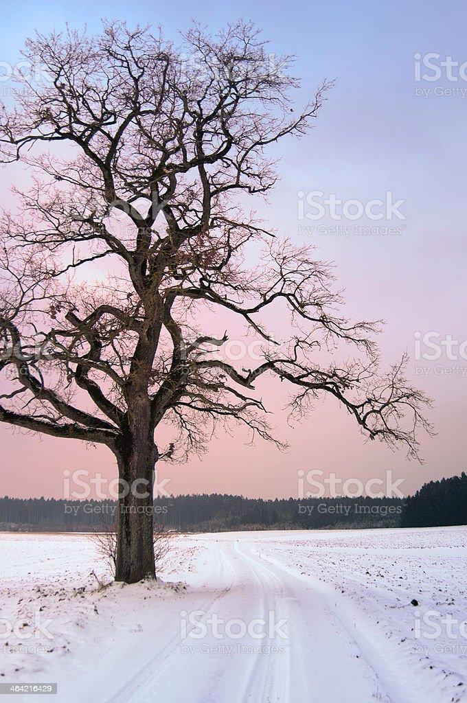 Old Oak Tree at Winter Sunset stock photo