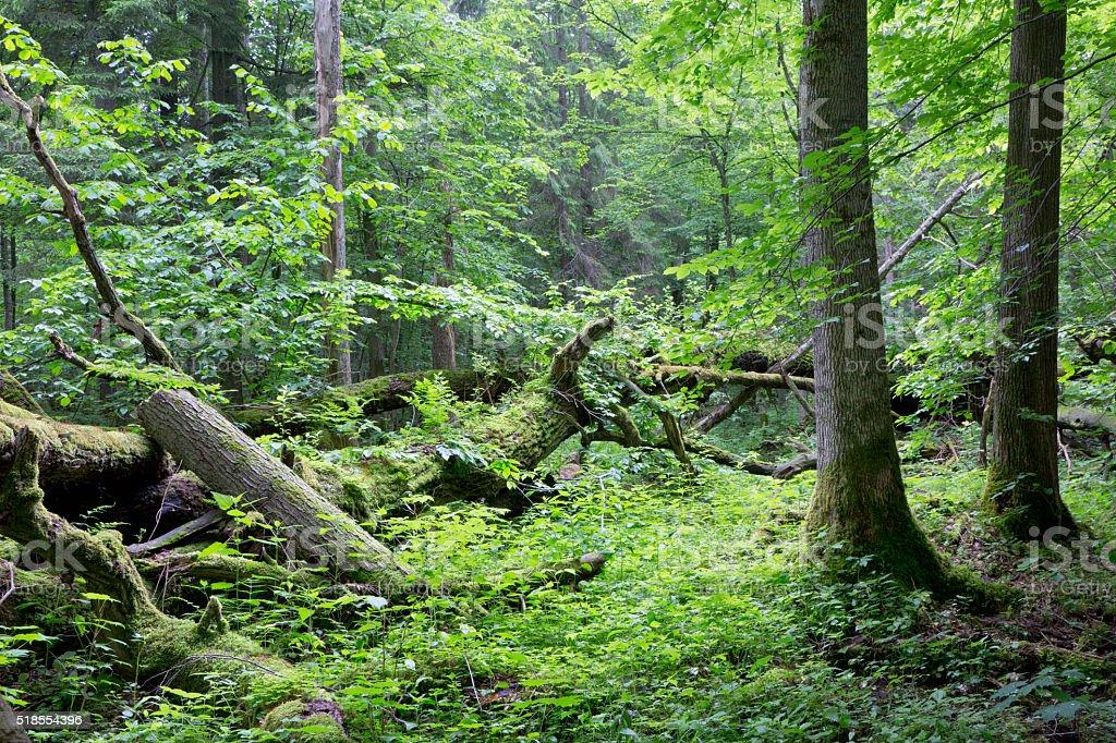 Old oak tree broken lying in spring forest stock photo