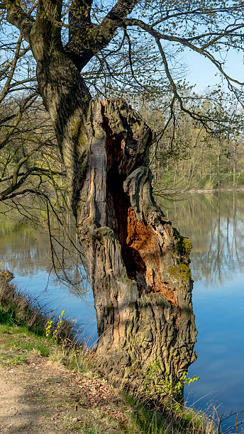 Old oak tree by the pond stock photo