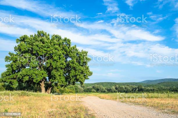 Photo of old oak tree near country road on summer day