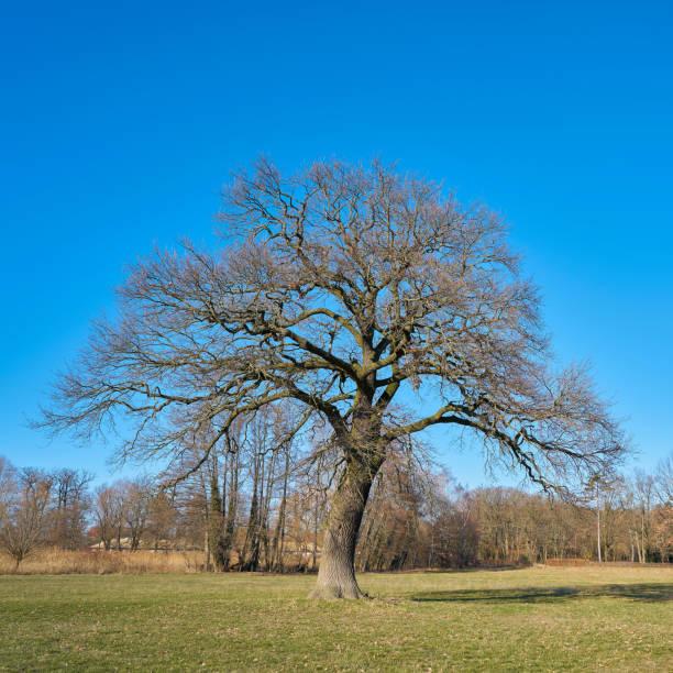 alte Eiche auf einer Wiese – Foto