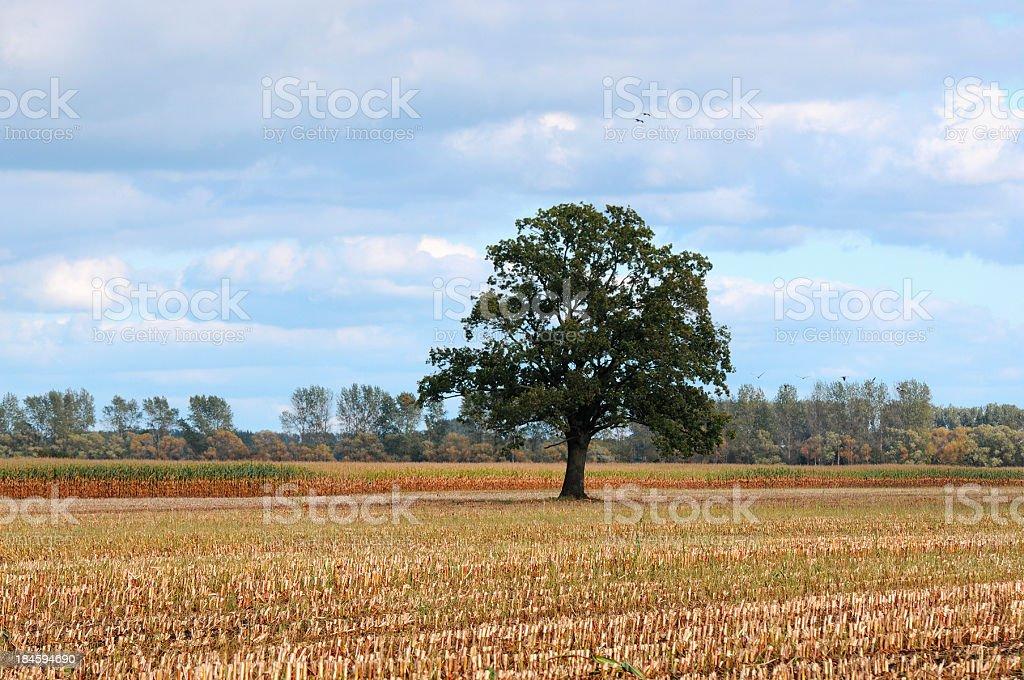 old oak tree on field stubble (Germany) royalty-free stock photo