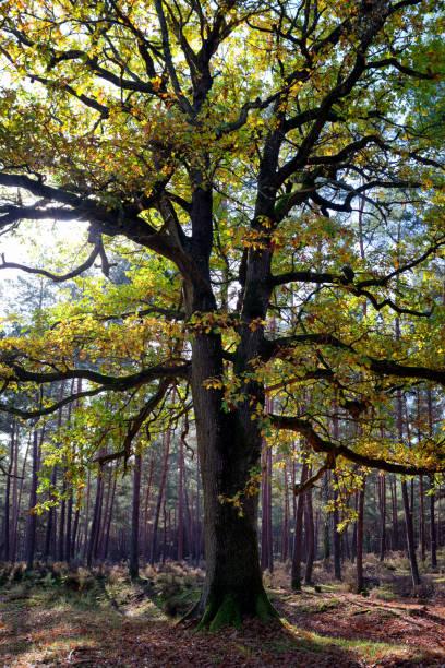 Vieil arbre de chêne - Photo