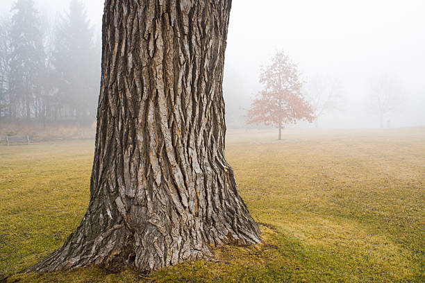Old Oak Tree Trunk in Autumn Fog at Park A misty morning fog in the park, Minneapolis, Minnesota, USA. An old tree trunk in focus in the foreground with young trees and forest in the cloudy fog in the background. A moody, quiet, soft outdoors overcast landscape with no people and copy space. tree trunk stock pictures, royalty-free photos & images