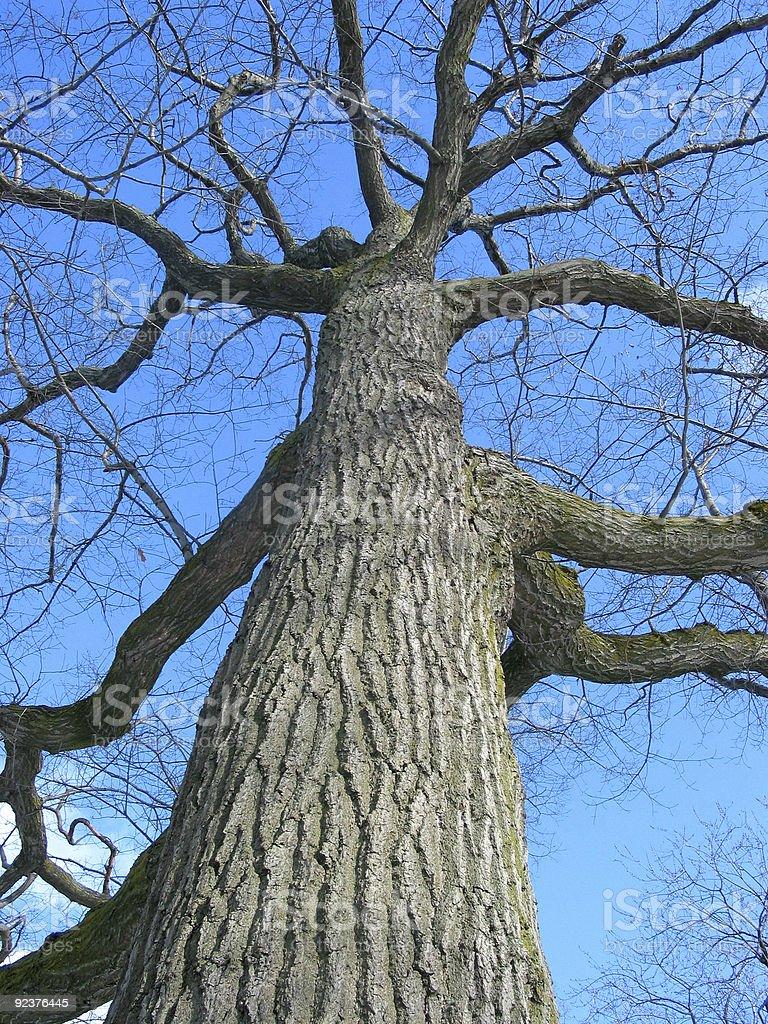 Old oak tree winter royalty-free stock photo