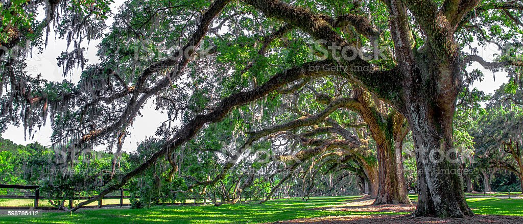Old Oak Trees stock photo