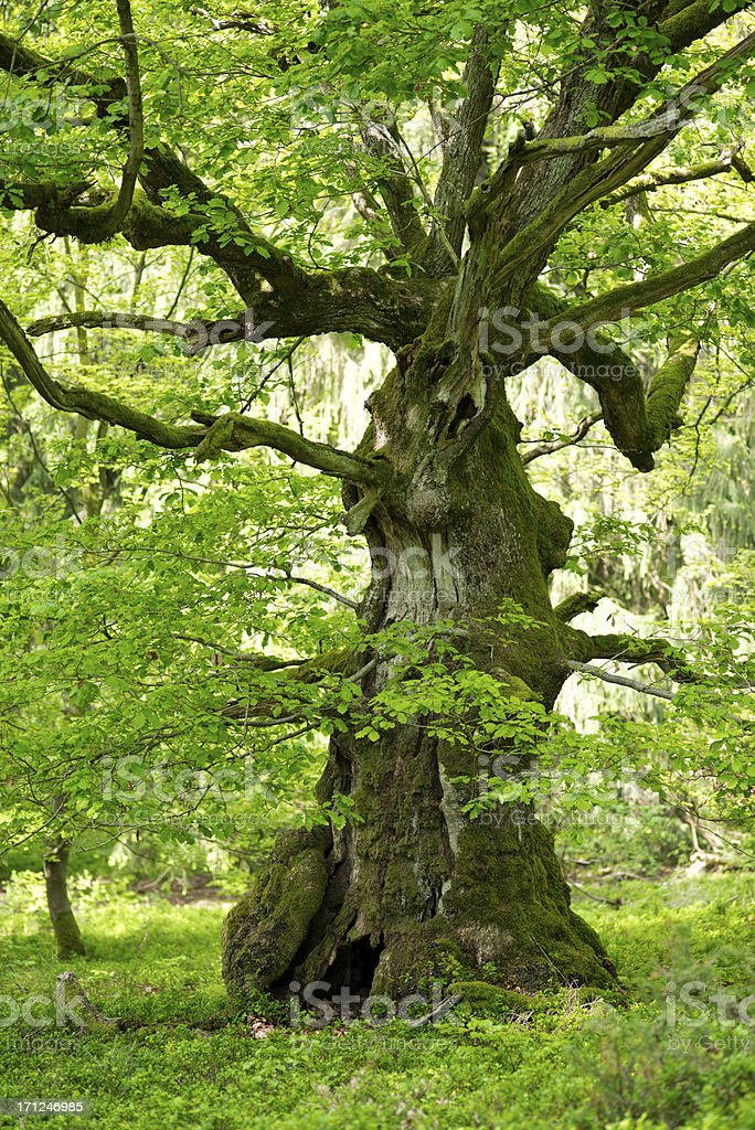 old oak with in may stock photo