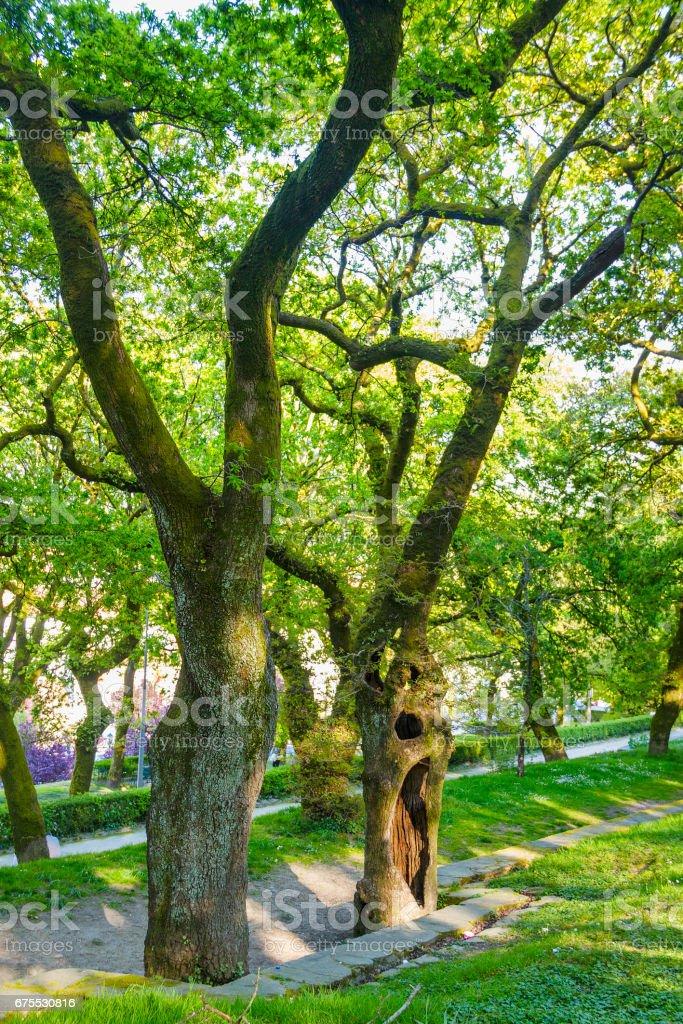 Vieux chênes sur la forêt photo libre de droits