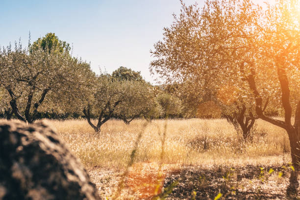 Old olive grove in Provence in southern France Old olive grove in Provence in southern France provence alpes cote d'azur stock pictures, royalty-free photos & images
