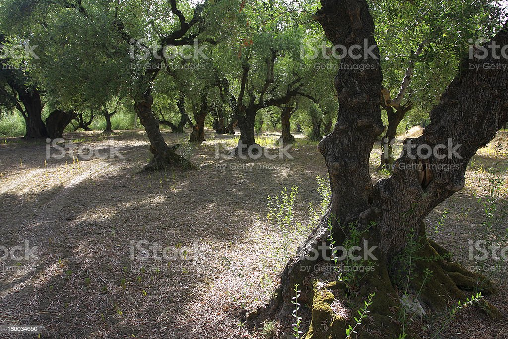 Old Olive Orchard stock photo