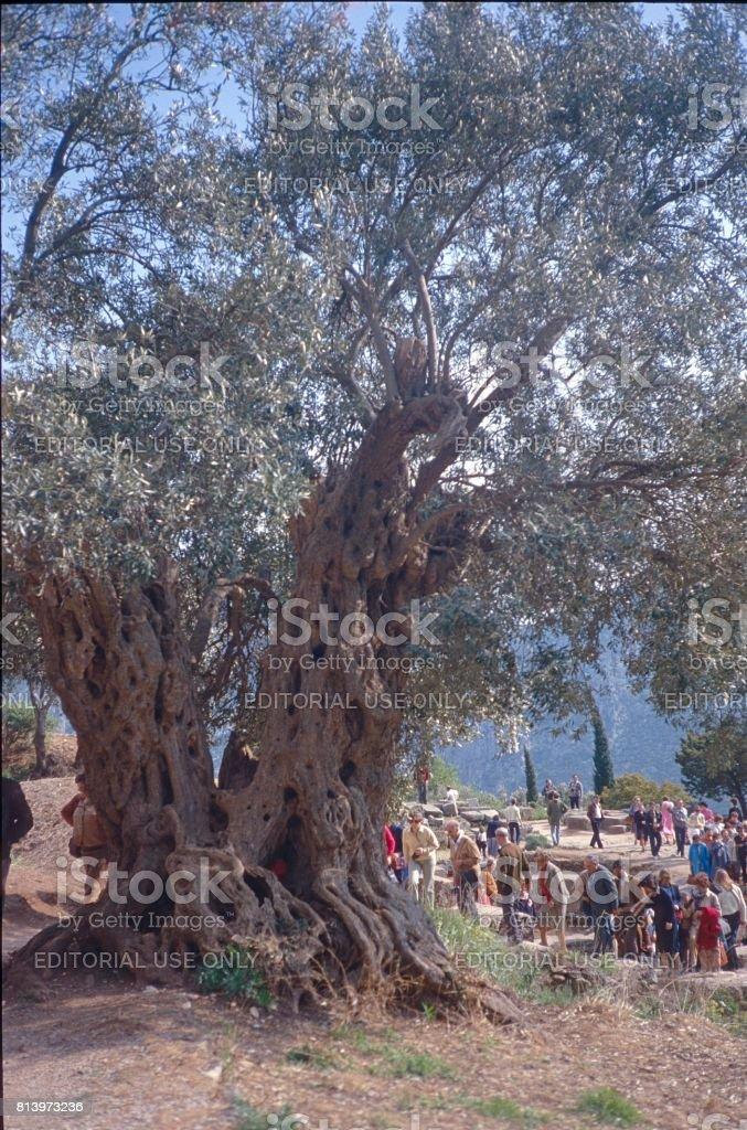 Old olive tree in Delphi stock photo