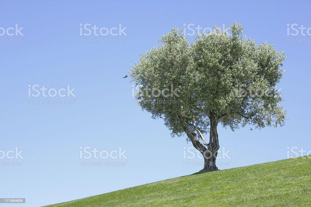 Vecchio Ulivo - foto stock