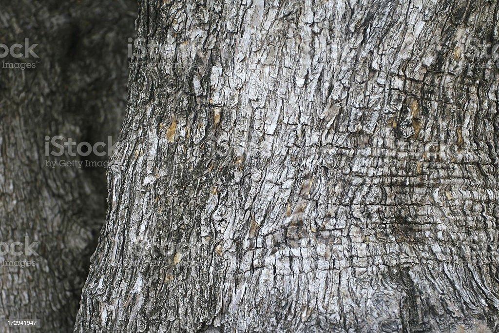 old olive tree - Photo