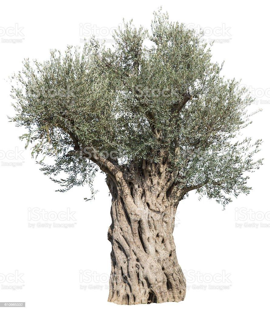 Old olive tree. - Photo