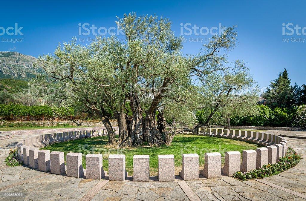 Antiguo oliva árbol stará Maslina cual es más de 2000 - foto de stock