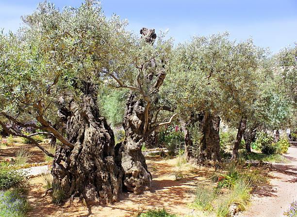 old olive trees in Garden of Gethsemane, Jerusalem stock photo