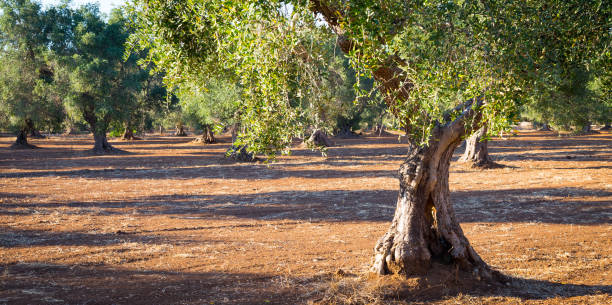 Old olive trees in South Italy stock photo