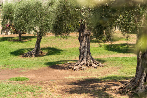 Old olive trees in the garden of Arenas Cimiez stock photo
