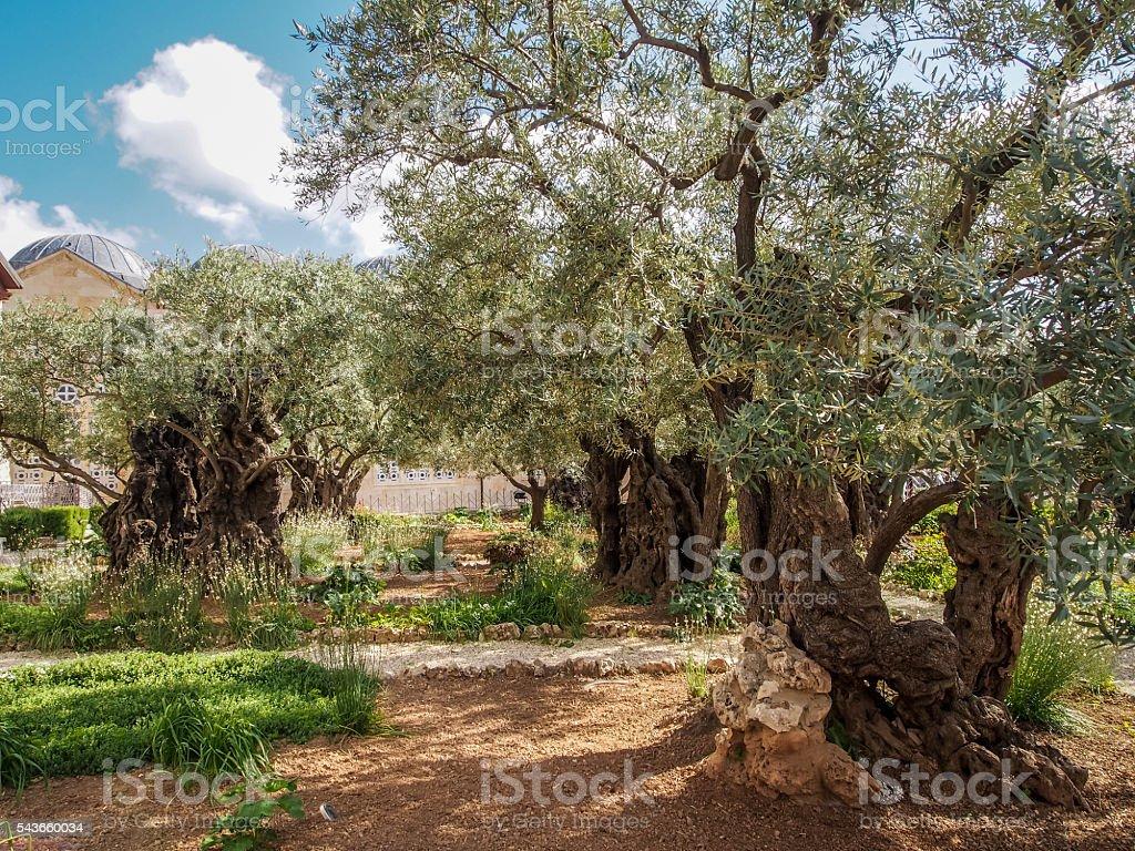 Old olive trees in the garden of Gethsemane, Jerusalem stock photo