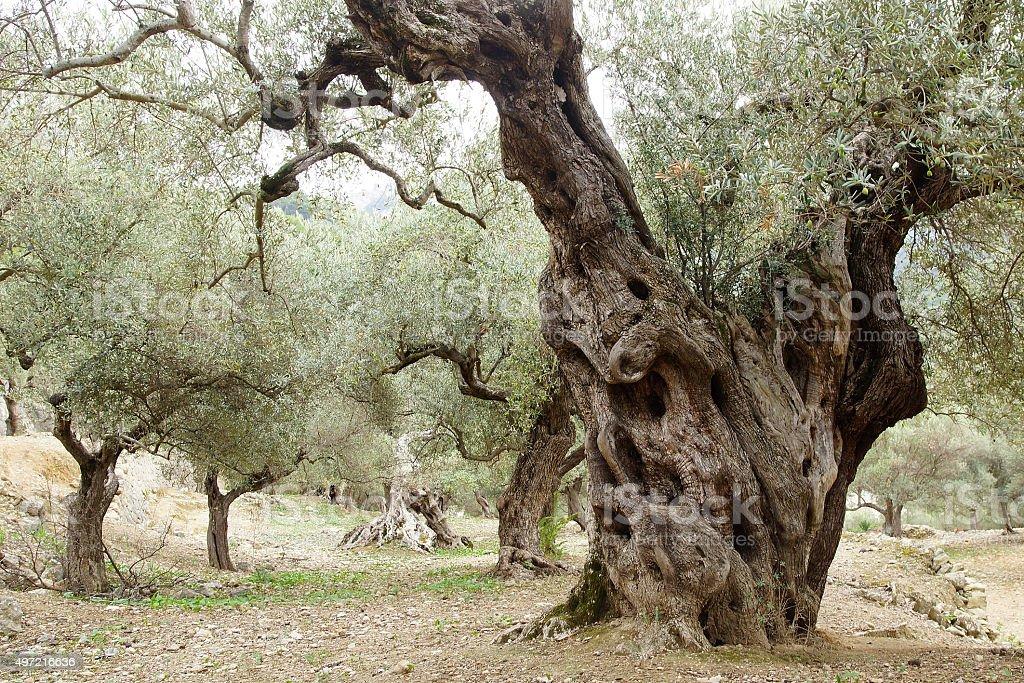 Vieux oliviers. - Photo