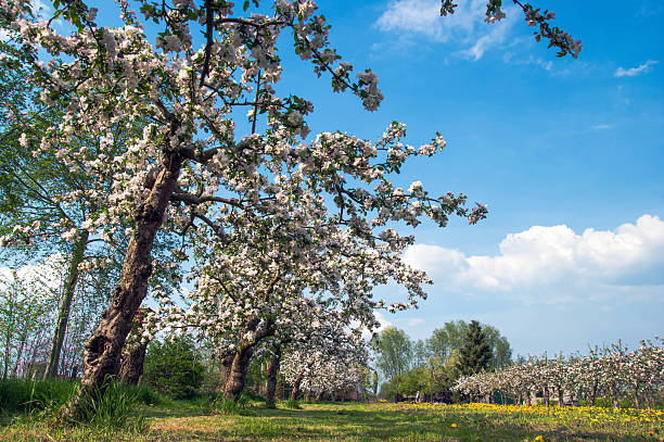 Old orchard with flowering apple trees.​​​ foto