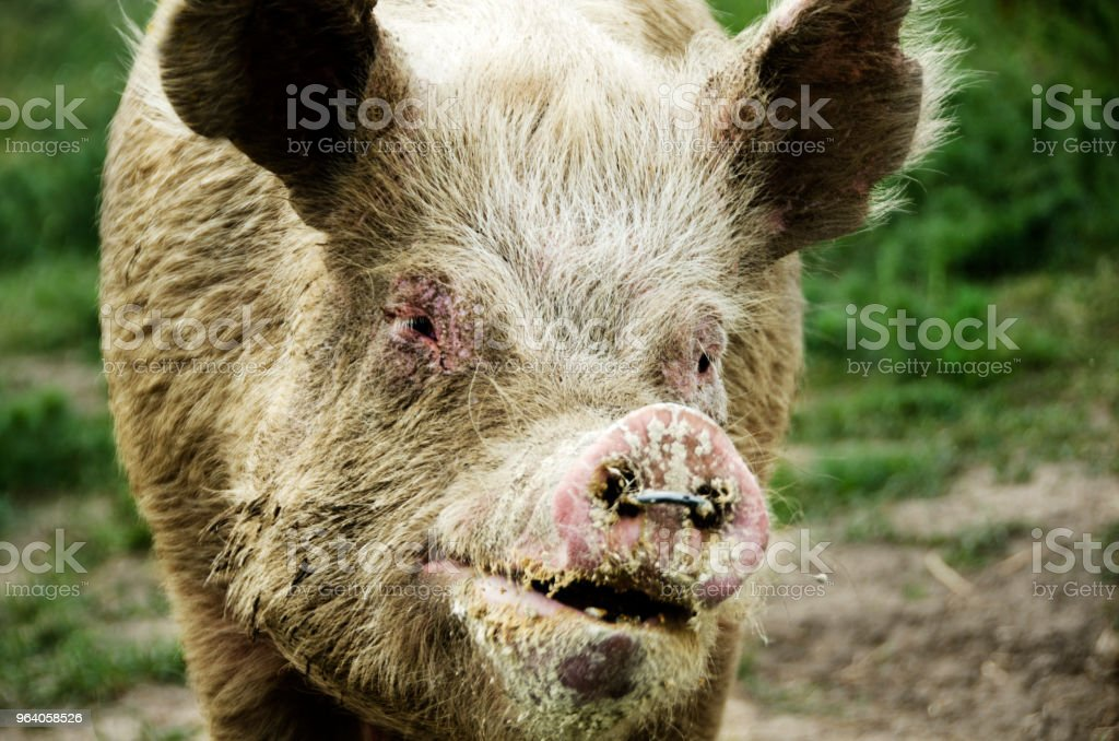Old organic pig laughing and posing in front of the camera. - Royalty-free Agriculture Stock Photo