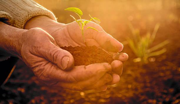 Alten Bauern-Hände halten grüne Junge Pflanze in Sonne Strahlen – Foto