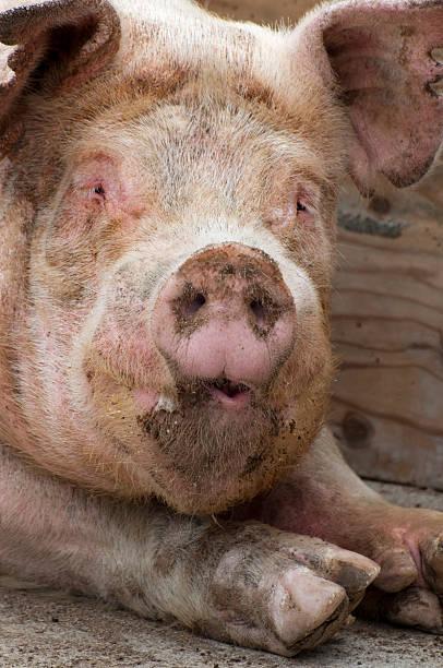 old schwein - pig ugly stock-fotos und bilder