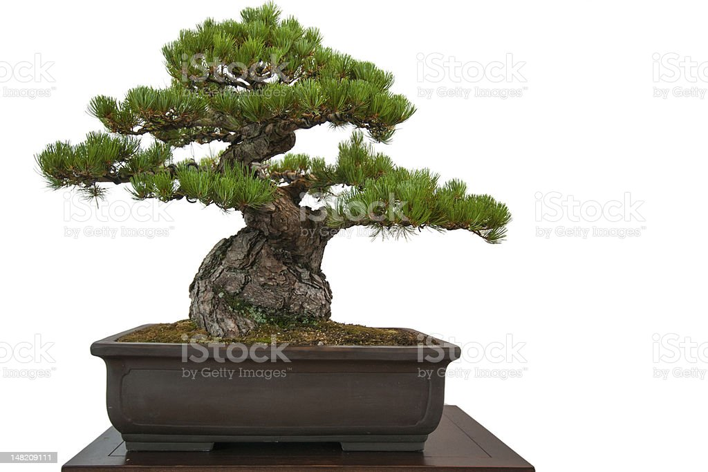Old pine (Pinus parviflora) bonsai in einen Topf – Foto
