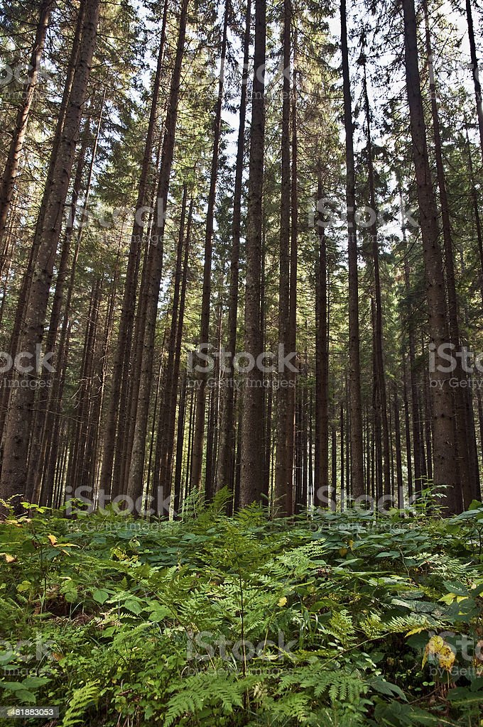 old pine forest stock photo