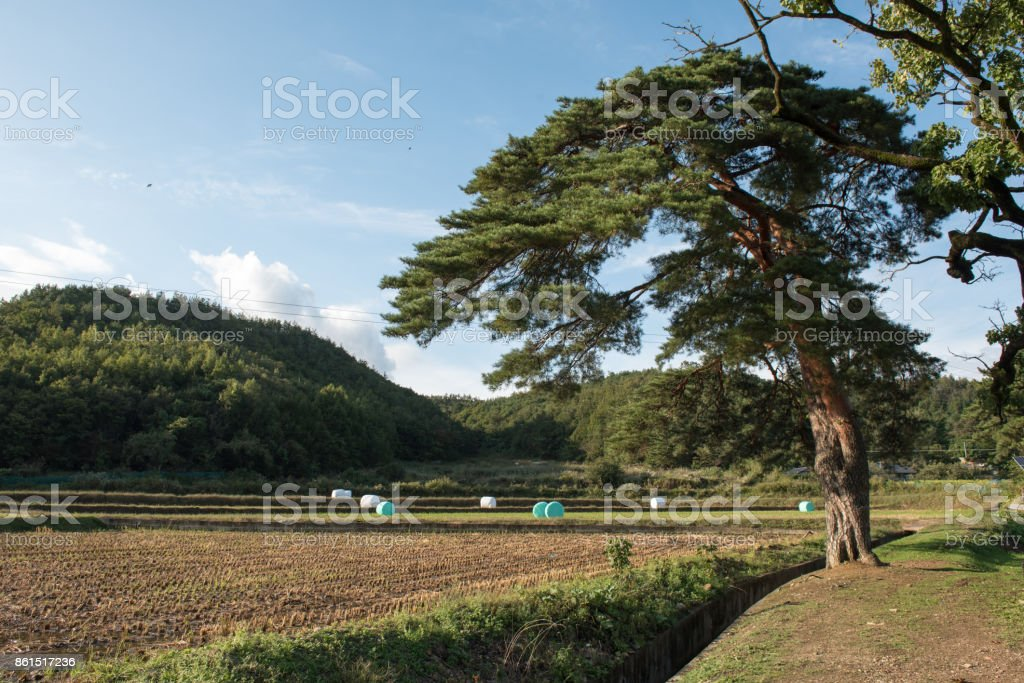 Old pine stock photo