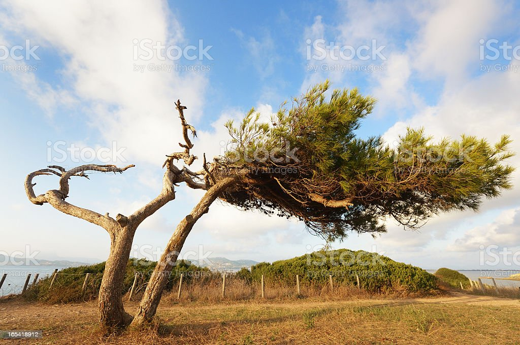 Old Pine Tree at French Riviera royalty-free stock photo