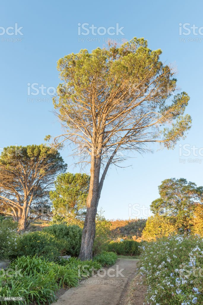 Old pine tree in a formal garden in Somerset-West stock photo