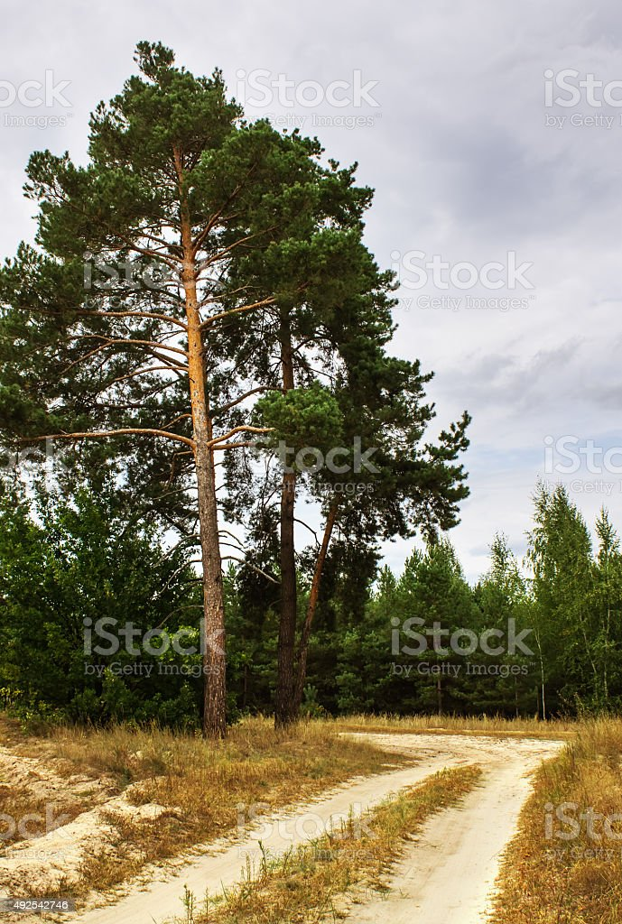 old pine tree near the road in the woods stock photo