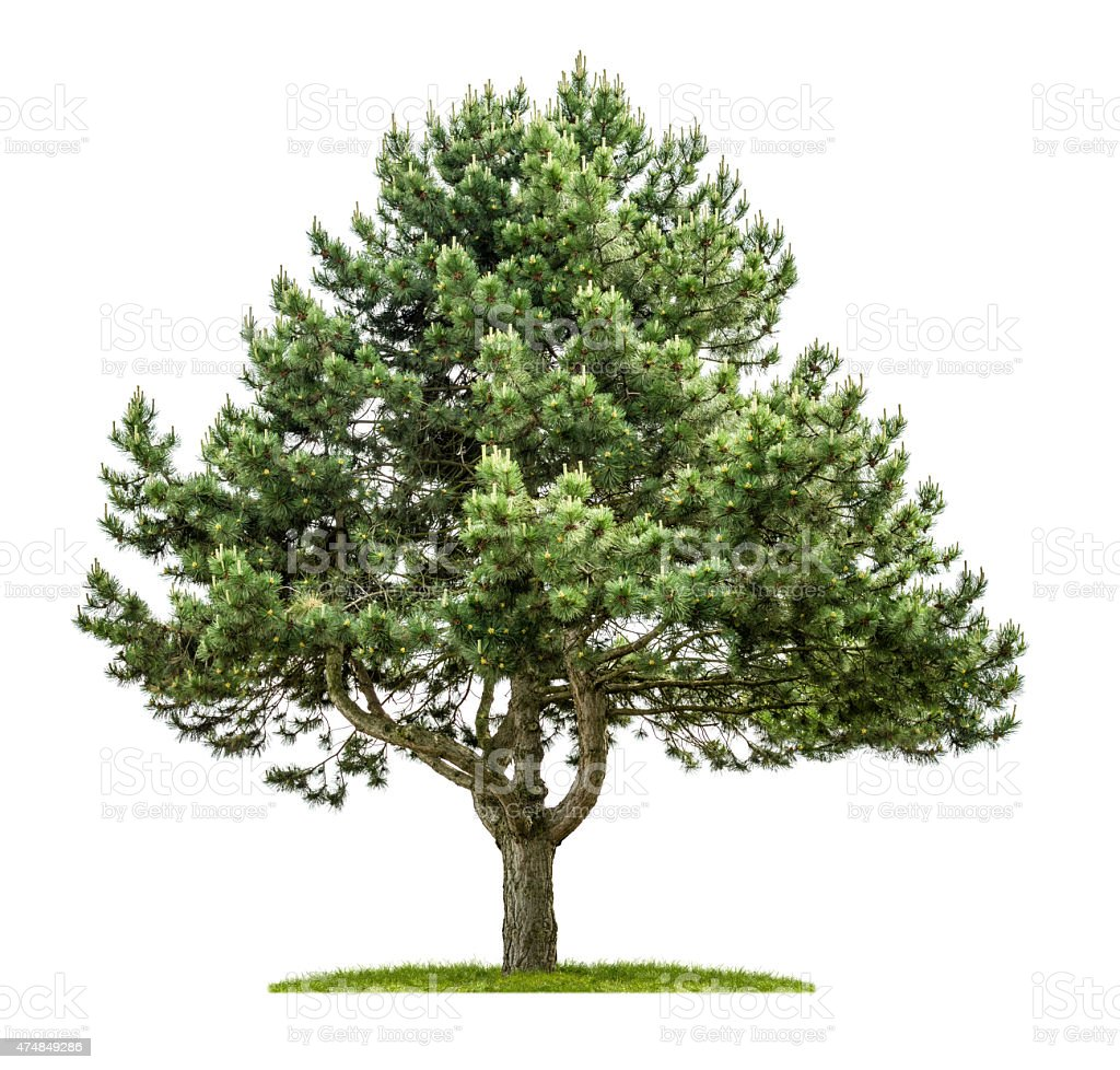 Old pine tree on a white background stock photo