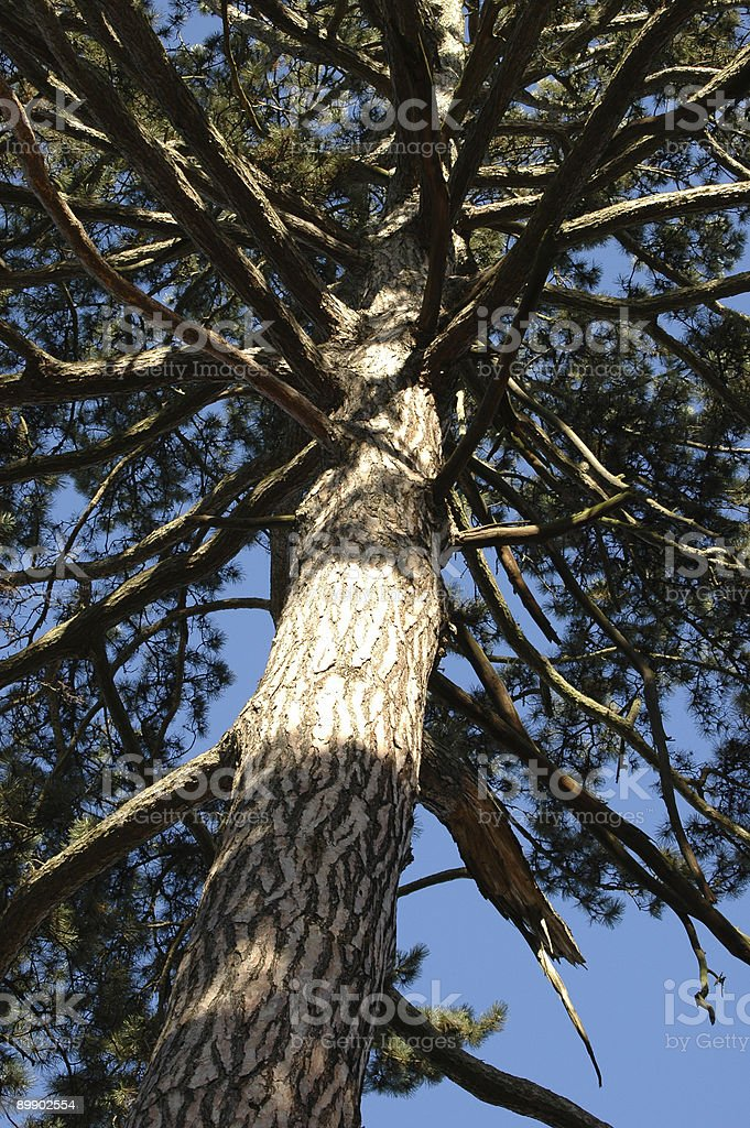 old pine tree royalty-free stock photo