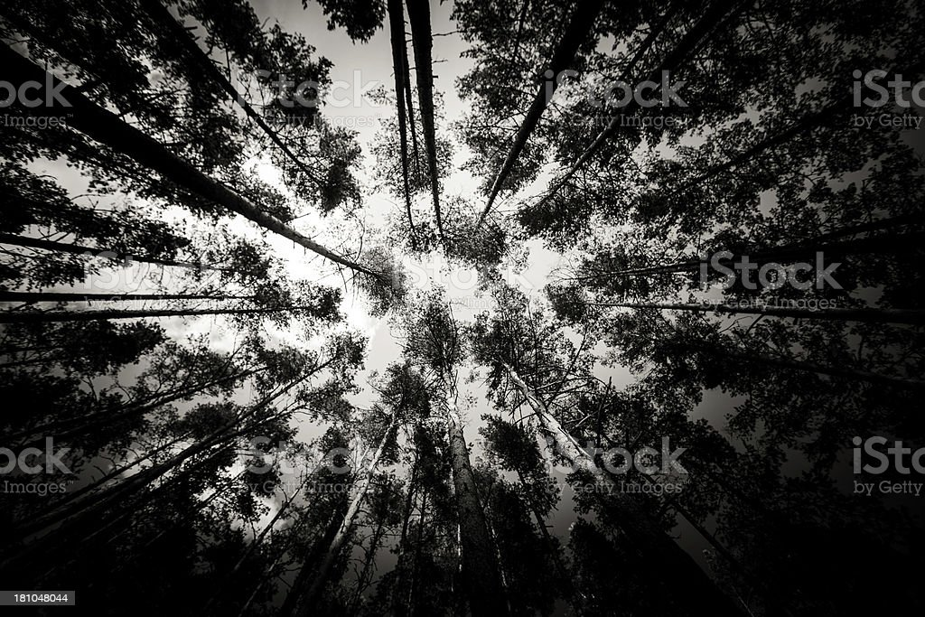 Old pines at night royalty-free stock photo